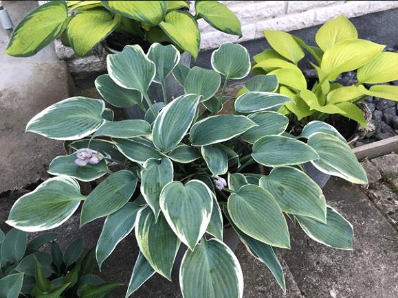 El Nino hosta med hjärtformade blad.
